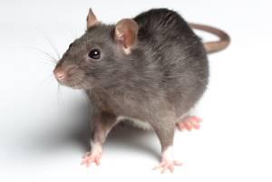 Rat Removal Perth